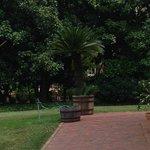 200 year old sago palm