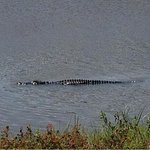 Alligator as viewed driving in across the marsh bridge