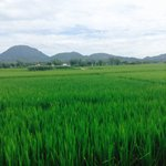 Riding past spectacular rice fields and mountains before harvest time