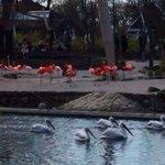 Flamingos e pelicanos no zoo de Copenhage