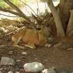 local mule deer