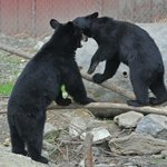 Young Black Bears