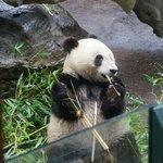 the baby panda