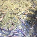 Trout at the Bonneville Fish Hatchery