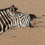 At Mantuma hide - laughing zebra