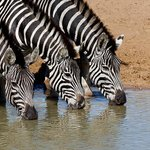 At Mantuma hide  - zebras drinking