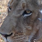 Young male in a pride of 6 lions