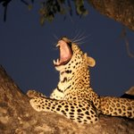 First leopard sighting