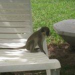 macaco na piscina