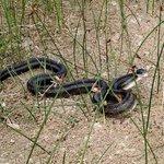 Snake in marsh near Dunes
