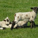 Join us for lambing