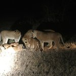 Lions hunting on  a night safari