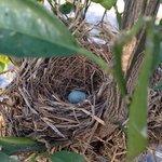 Ecco cosa abbiamo trovato tra le piante di limone, un nido di merlo, con l'uovo turchese, bellis