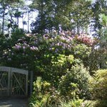 Rhodies by the gate