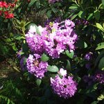 More rhodies