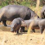 Baby hippo's