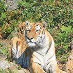 Sibirsk Tiger