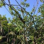Iguanas descansan en ramas de los árboles