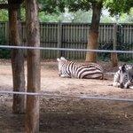 zebras in their habitat