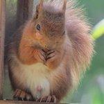 Red Squirrel in Braemar