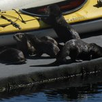 River otters at the April Point marina