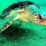 Loggerhead Turtle (photo by Bob Bates)