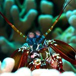 Mantis shrimp are a common site on the reefs at Wakatobi.