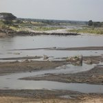 Wildebeest Crossing #7 in action