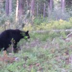 Black Bear in GTNP
