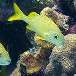 Grunts at 10 meters reef