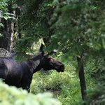 Big Bull Moose just up route 3 from TT Lodge.