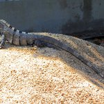 Cstenosaur