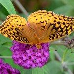 Many Butterflies at the Inn