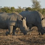 Why are they called White Rhino...check out the long face!!