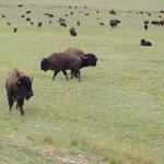 Bison just outside park