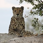 Gepard am frühen Abend