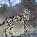 Gepard bei der Pirschfahrt