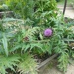 Les artichauds en fleur dans le jardin botanique