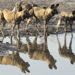Wildhunde am Wasserloch