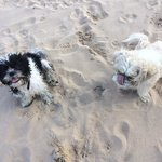 a little soggy and a little sandy Arthur and Neville after running over the dunes!