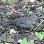 Eurasian Blackbird in the gardens