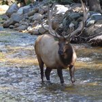 Elk that was in river behind cabin
