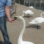Hand feeding a swan