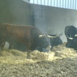 The bulls at the cages on 6 July (day before the first Running)