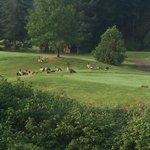 vue de notre fenêtre de cuisine; des outardes sur le terrain de golf
