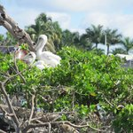 Baby pelicans in rookery