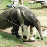 Anteater at Chaffee Zoo