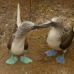 A Blue Foot Boobey couple