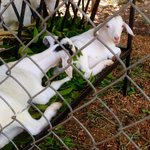 Baby Milk Goats