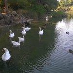 Cigni nel canale a Koukounaries Beach
